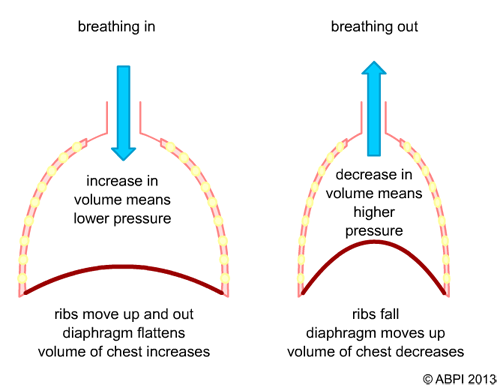What happens to the lungs when the diaphragm contracts ...